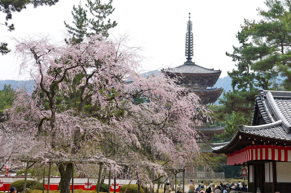 醍醐寺のサクラ